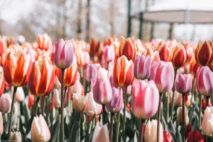 Où admirer les tulipes en Hollande (Guide pratique) + Parc Keukenhof